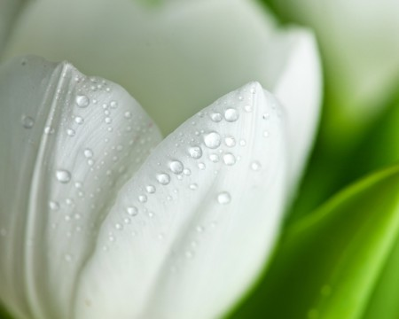white-tulip-close-up-wallpaper